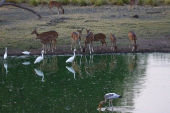 Cheetal and egrets seem to enjoy each others company.