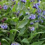Symphytum ibericum 'Wisley Blue'