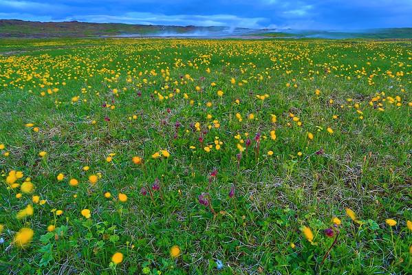 Saftige Blumenwiese in Hveravellir, Island