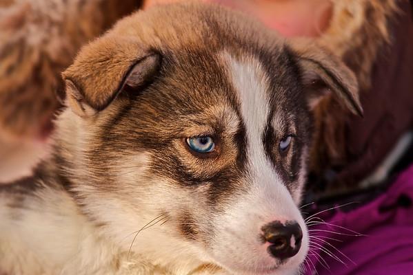 Das ist Sayo, eine kleine Siberian Huskyhündin. Ihr Name bedeutet, die in der Nacht geborene.
