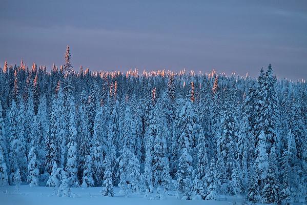 Morgenlicht streift die Baumwipfel - Lappland, Schweden
