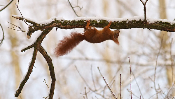 Eichhörnchen (Sciurus vulgaris), Red squirrel