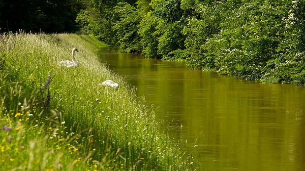 Höckerschwäne am Hochwasserdamm