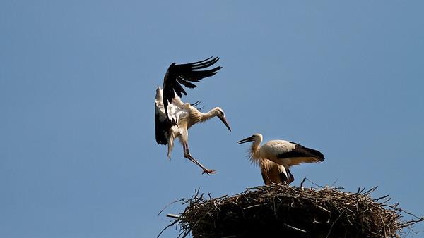Junger Weißstorch beim Landeanflug