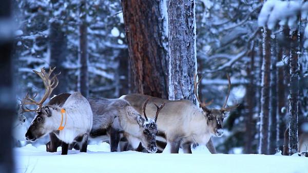 Rentiere - Lappland, Schweden