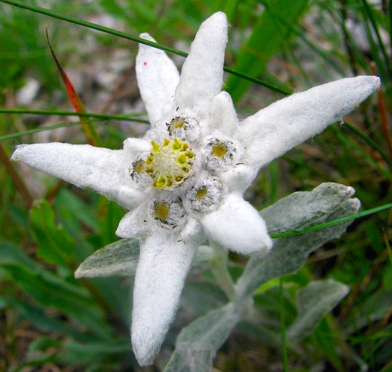 Edelweiss arnold zwickys blog like this m4hsunfo