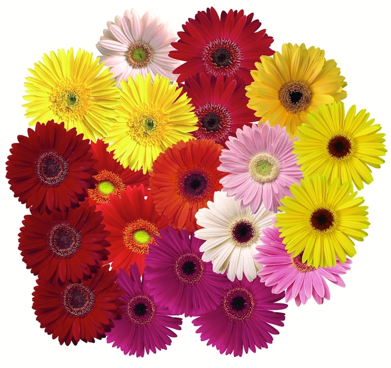 Gerbera and other daisy oid flowers   Arnold Zwicky s Blog