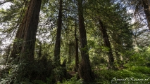 Botanical Garden - Redwood Trees