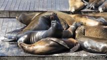 Pier 39, zeeleeuwen