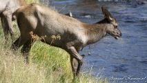 Elks in Madison River