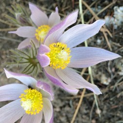Pasque Flowers were blooming everywhere. A sure sign of Spring!
