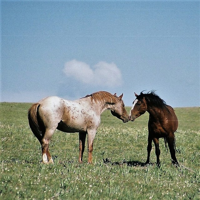 2003-07 Pryor Mountain 1 - Wild Horses (104)