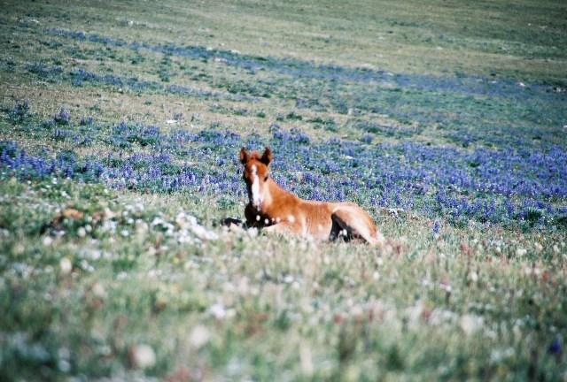 2003-07 Pryor Mountain 1 - Wild Horses (173)