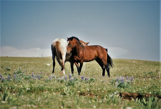 2003-07 Pryor Mountain 1 - Wild Horses (26)