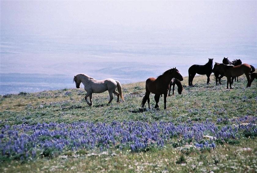 2003-07 Pryor Mountain 1 - Wild Horses (4)