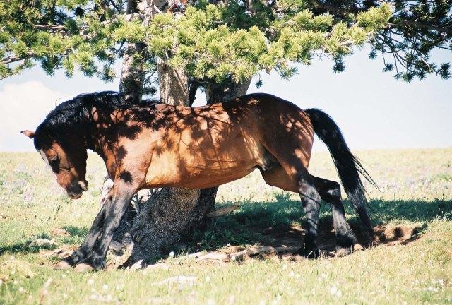 2003-07 Pryor Mountain 1 - Wild Horses (6)