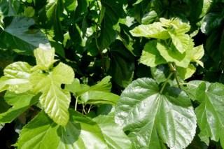 桑の葉マルベリーリーフ