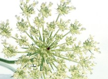 huile essentielle carotte bio