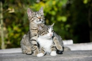 Doterra essential oils for cats