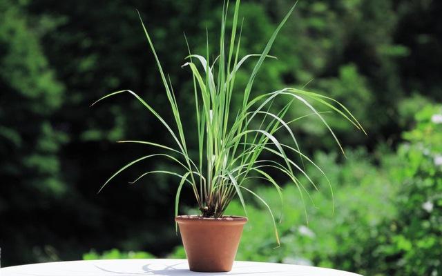 trồng sả chanh trong nhà