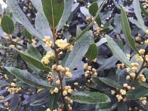 ローレル月桂樹