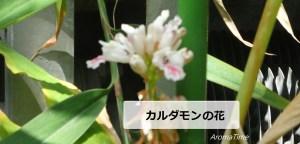 カルダモン花