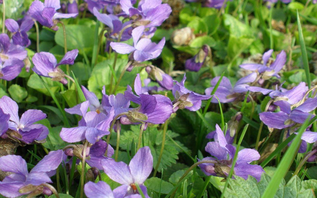 Aceite esencial de violeta – viola  odorata