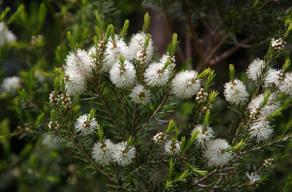 Aceite esencial de árbol del té – melaleuca alternifolia