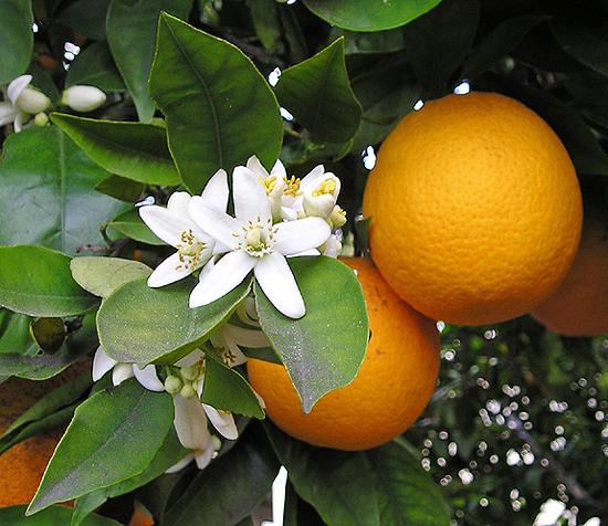 Aceite esencial de petitgrain – citrus aurantium