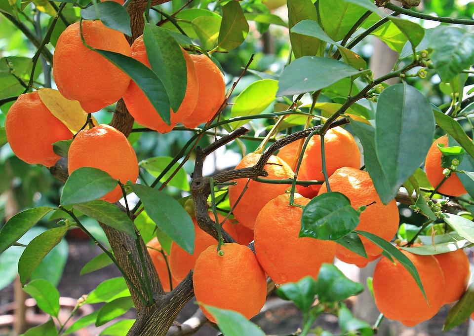 Aceite esencial de naranja - citrus sinensis
