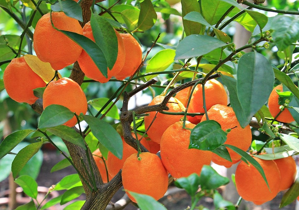 Aceite esencial de naranja – citrus sinensis