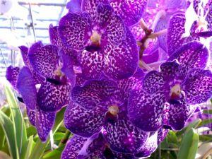 Orchidea-vanda-fiore-2