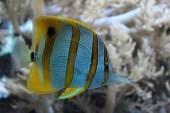 poisson-papillon