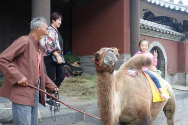 Kamel in Yungang