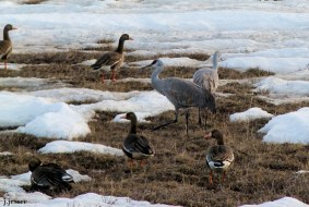Greater White-fronted Geese & Sandhill Cranes