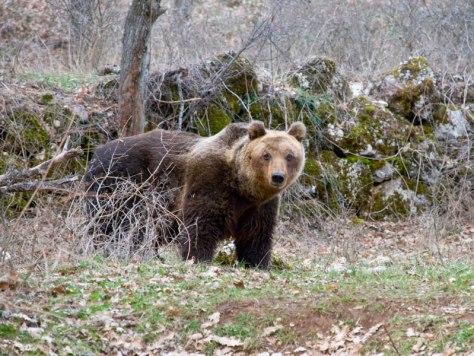 Orso marsicano - weekend e vacanze nel Parco Nazionale d'Abruzzo
