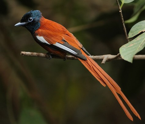 Seychelles_Red-bellied_Paradise_Flycatcher