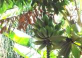 Catania-capomulini-bb-lu-paradisu-bananeto