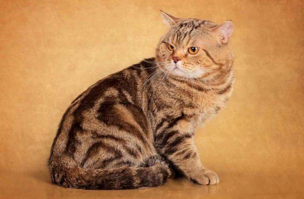 Самые красивые имена для британских и шотландских кошек, в ...