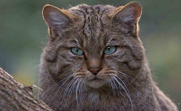 Как выглядит камышовый кот: фото, характер камышового кота ...