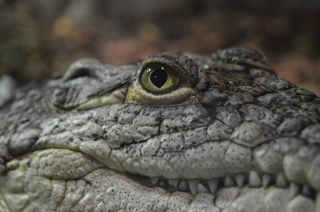 Nile crocodile at Exploris Aquarium in Portaferry