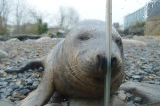 A seal at Exploris Aquarium in Portaferry