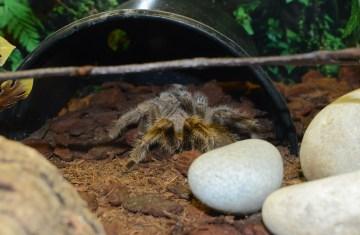 Tarantula in Bug World at Alcorn's Tropical World, Donegal