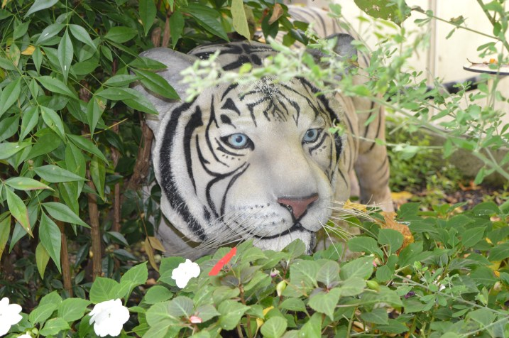 White Tiger at Alcorn's Tropical World in Donegal