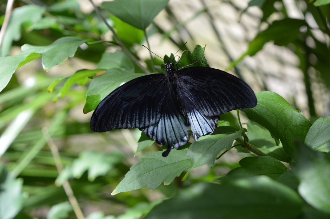 A basking butterfly inside the Tropical Butterfly Forest at Alcorn's Tropical World in Donegal