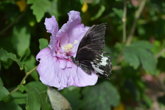 A butterfly feeds inside the Tropical Butterfly Forest at Alcorn's Tropical World in Donegal