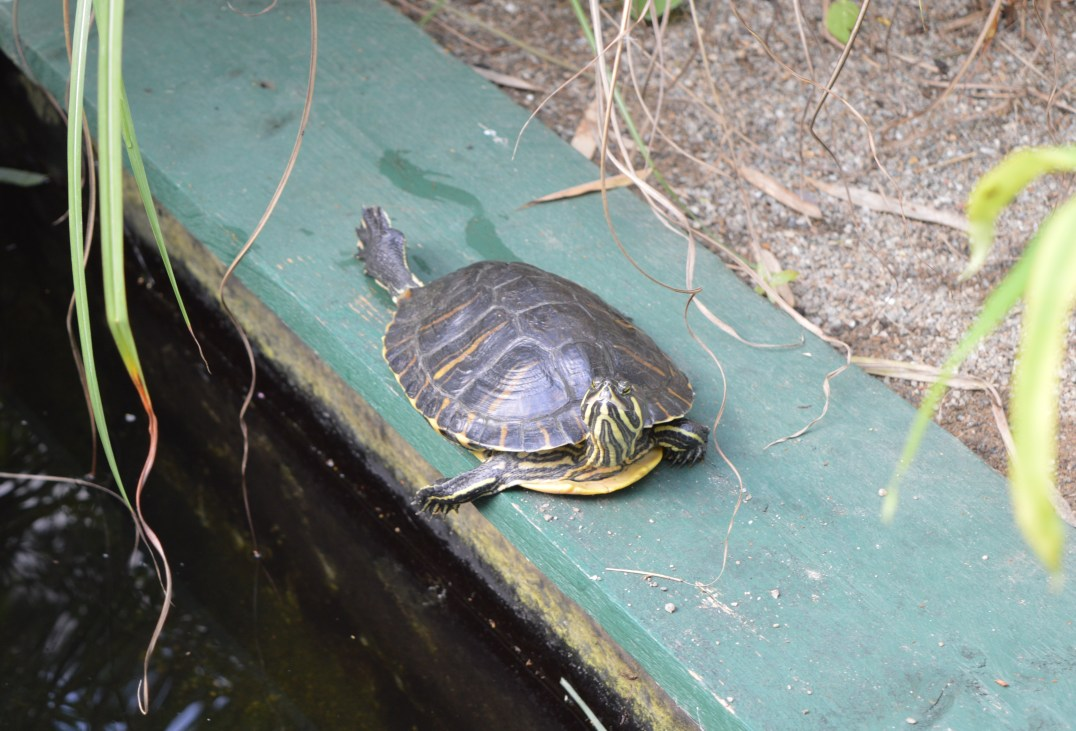 Terrapins inside the Tropical Butterfly Forest at Alcorn's Tropical World in Donegal