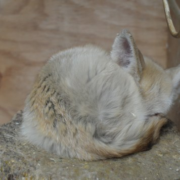 A Fennec Fox sleeps at Alcorn's Tropical World in Letterkenny, Donegal
