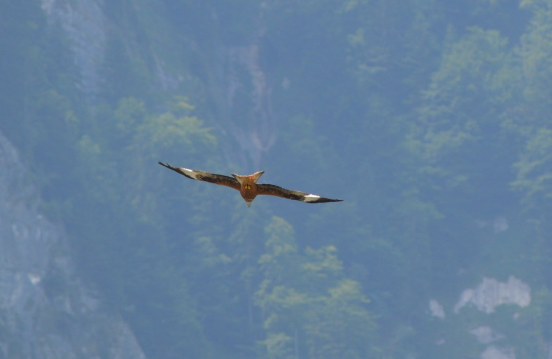 A Red Kite in flight over Lake Brienz, Switzerland