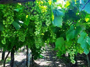 Slovenian vineyards in mid-summer